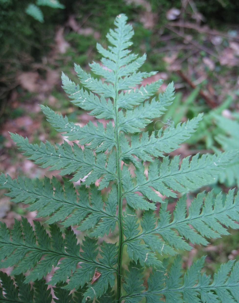Narrow Buckler Fern Dryopteris carthusiana.JPG