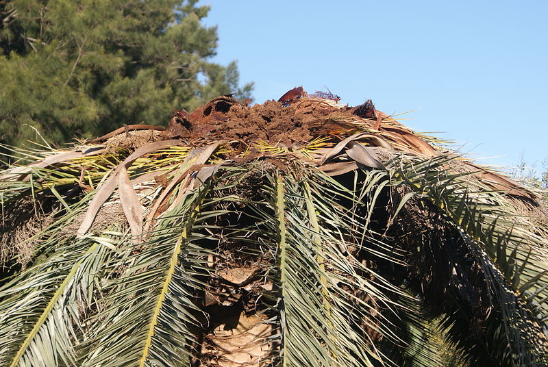 Phoenix_canariensis_destroyed_by_Rhynchophorus_ferrugineus_1.JPG