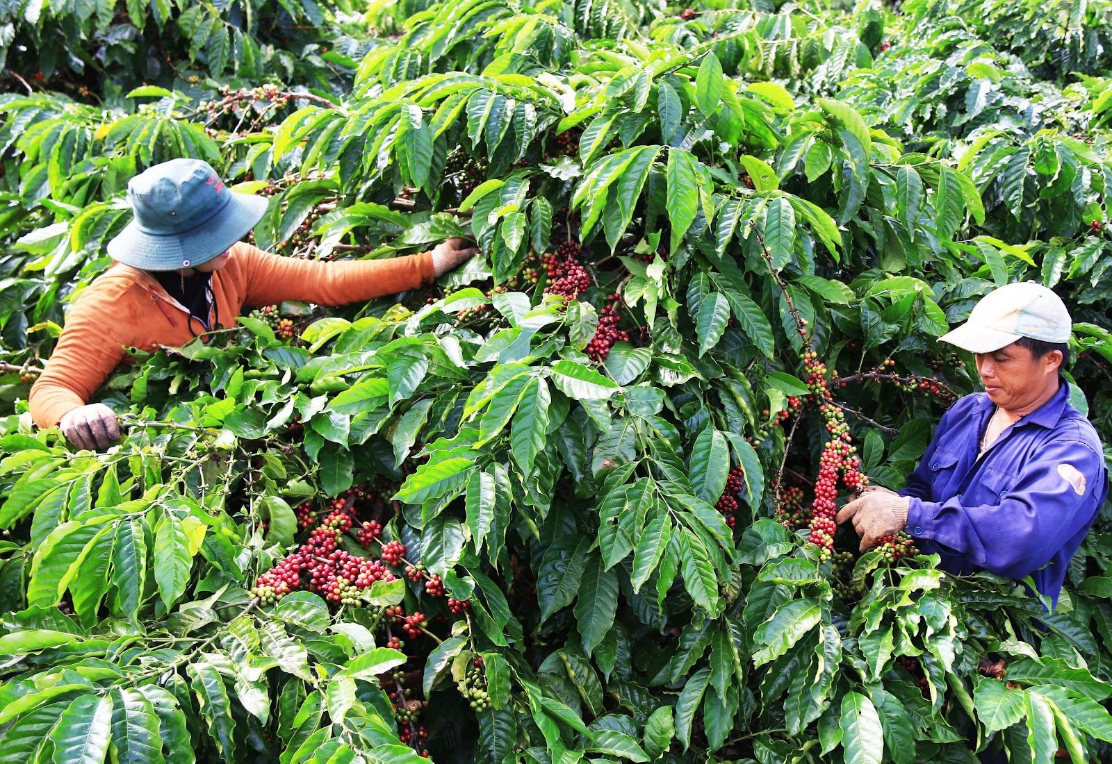 Nông dân Việt Nam trồng cà phê