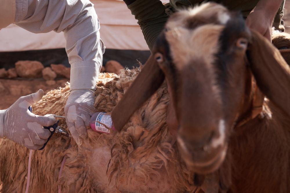 Atenção médica com um veterinário é fundamental para a saúde dos animais. (Fonte: Karam Almasri/Shutterstock)
