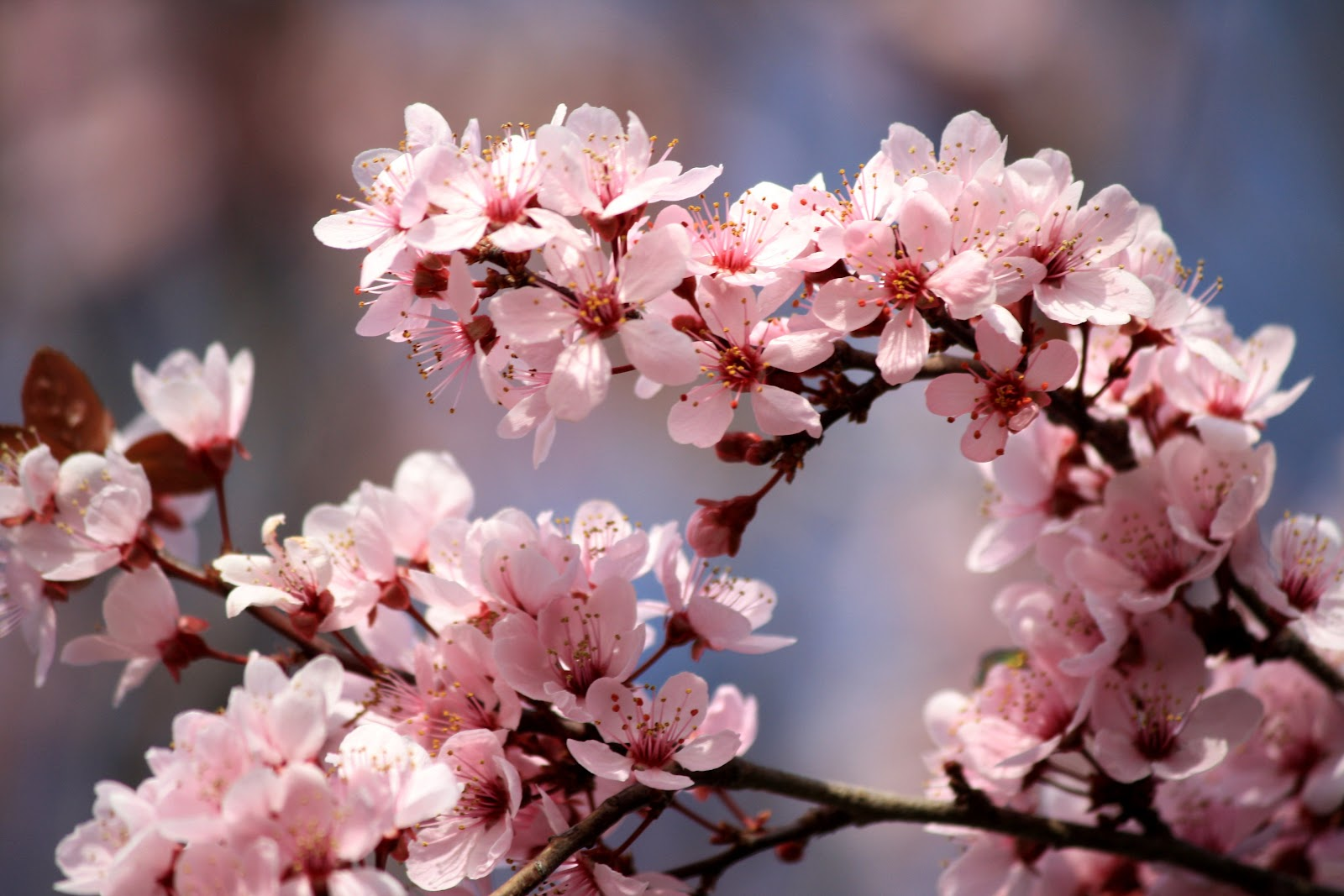 https://upload.wikimedia.org/wikipedia/commons/4/47/Pink_Plum_Blossoms.jpg