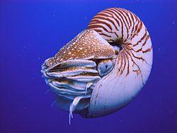Nautilus Palau.JPG