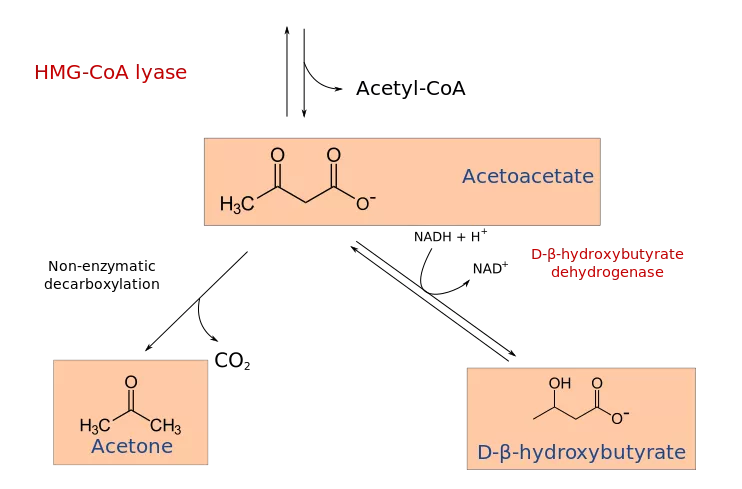 body converts BHB back to acetoacetate