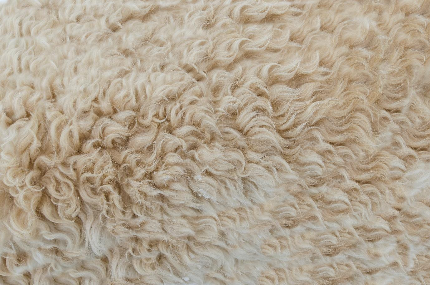 A picture containing sheep, mammal, grass, looking  Description automatically generated