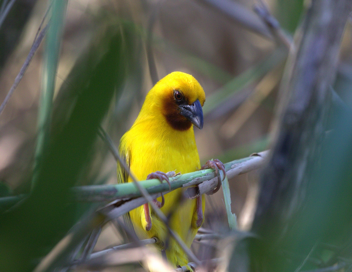 brown-throated weaver (Copy).jpg