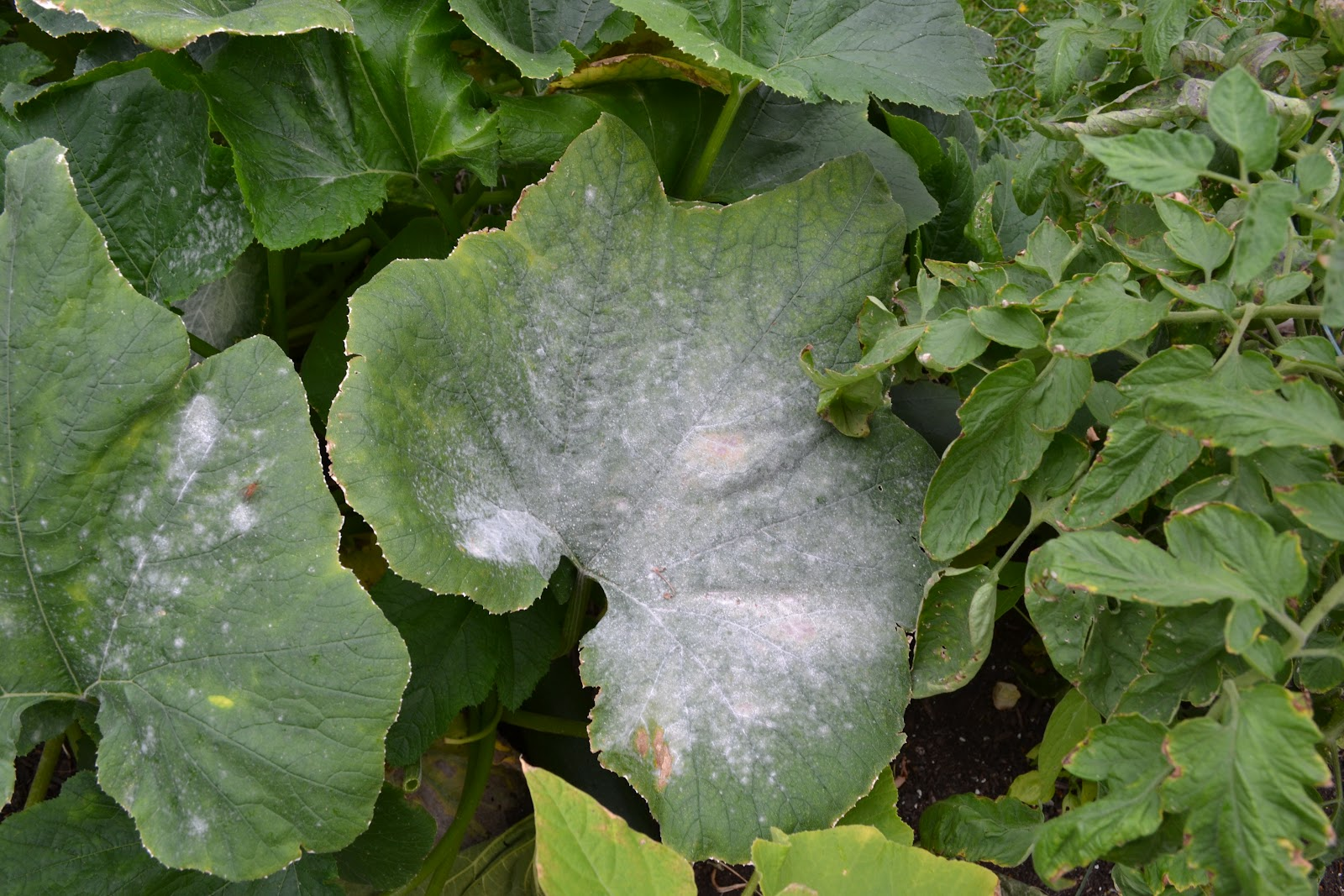Zucchini plant leaf starting to die from powdery mildew attack.