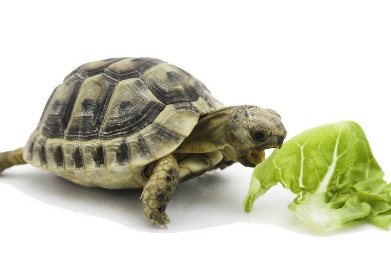 Resulta ng larawan para sa Hermann's Tortoises eating