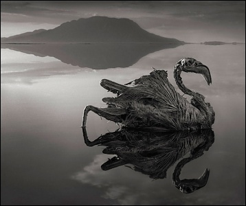 calcified_flamingo_by_nick_brandt