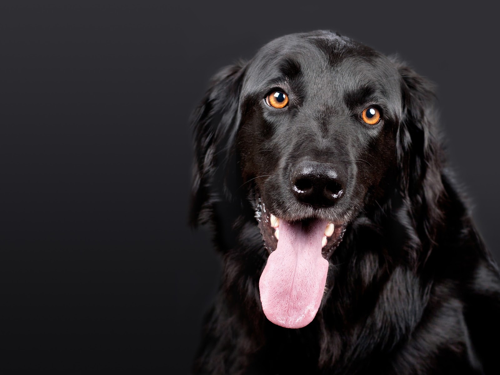 Black Dog with tongue sticking out