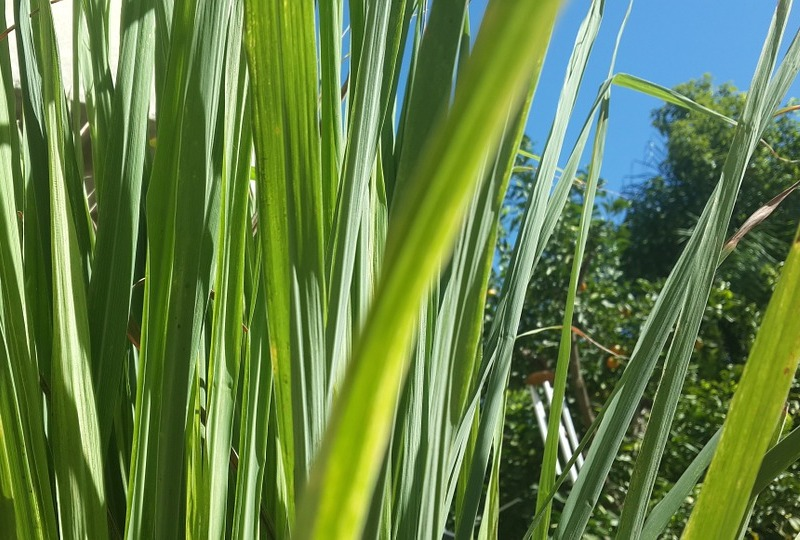 close-up of lemongrass