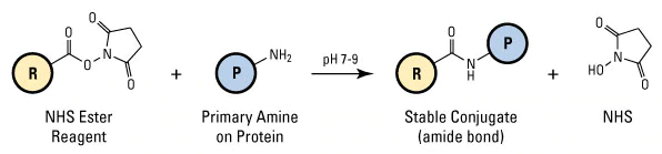 Polymer bioconjugation to surfaces typically utilize EDC and NHS to react with a primary amine on the protein to form a stable conjugate.