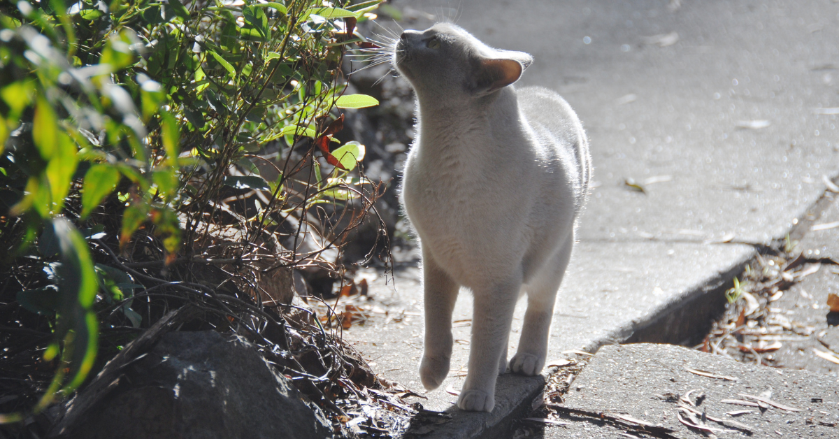 A rarer fawn colored solid cat