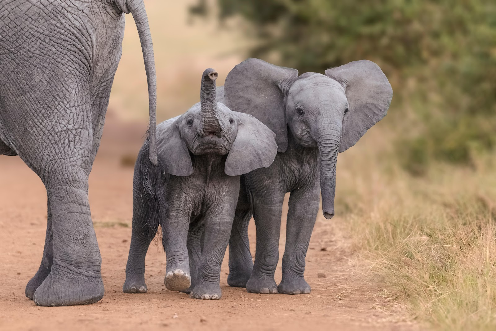 Zimbabwe rips 35 baby elephants from their mothers for export to Chinese  zoos · A Humane World