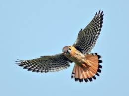 Help arrives for American kestrels