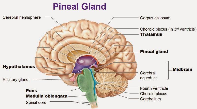 http://1.bp.blogspot.com/-nc5TMg-ApaE/VNULvqlm0gI/AAAAAAAAClk/rksBeZw7syE/s1600/pineal-gland-thalamus-hypothalamus-pituitary-gland-pons-medulla%5B1%5D.jpg