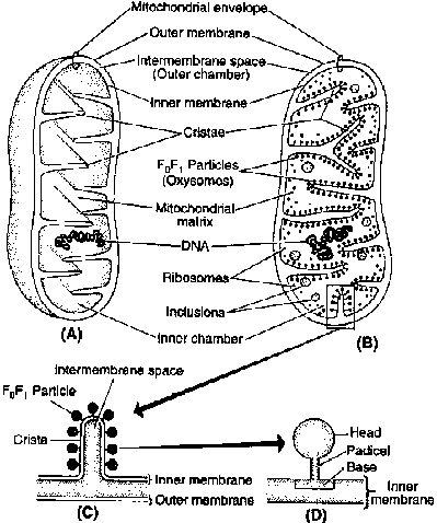 Class 11 Zoology Chapter Structure Of Cell Topic