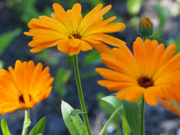 Grow Calendula for use in healing salves, as edible flowers, and for sunny color in cutting and  herb gardens. A frost-tolerant annual, Calendula creates a long-lasting garden display. Make 2-3 successive sowings 2-3 weeks apart for continuous blooms from summer until heavy frost. Calendula blossoms are also rich in carotenoid and can be used as dye. Its flowers are used in traditional medicine for antiseptic tinctures and healing skin ointments. LIMITED QUANTITIES