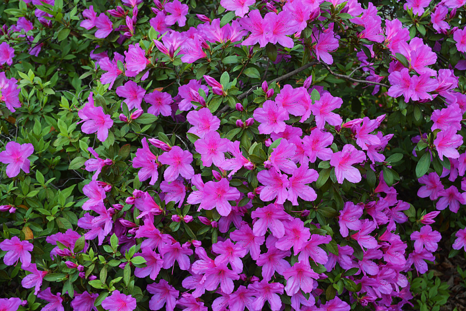 Flowers that i like nebulous azaleas are pretty looking honestly come in a fairly wide range of colours too if you consider red and pink a wide spread mightylinksfo