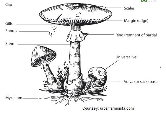 Sporangium.jpg