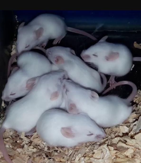 Mơ thấy 1 đàn chuột mới nở