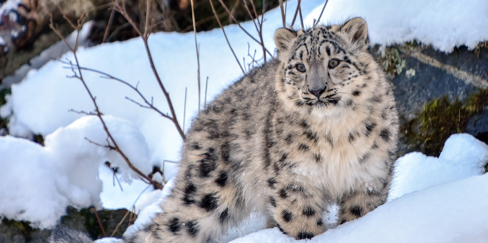 Rare snow leopards spotted near Kazakhstan's Almaty amid COVID-19 ...