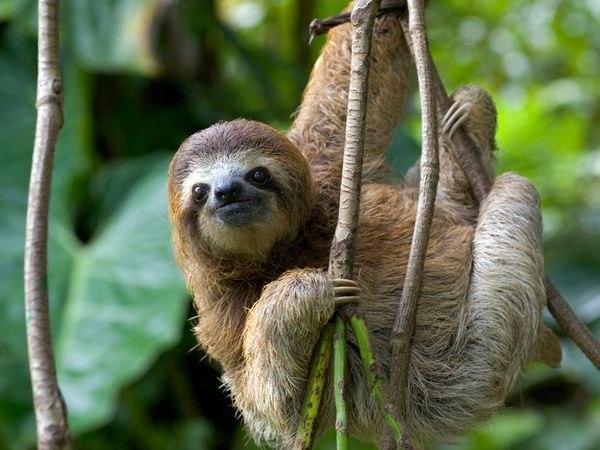 Почему ленивца так назвали? Трехпалый ленивец