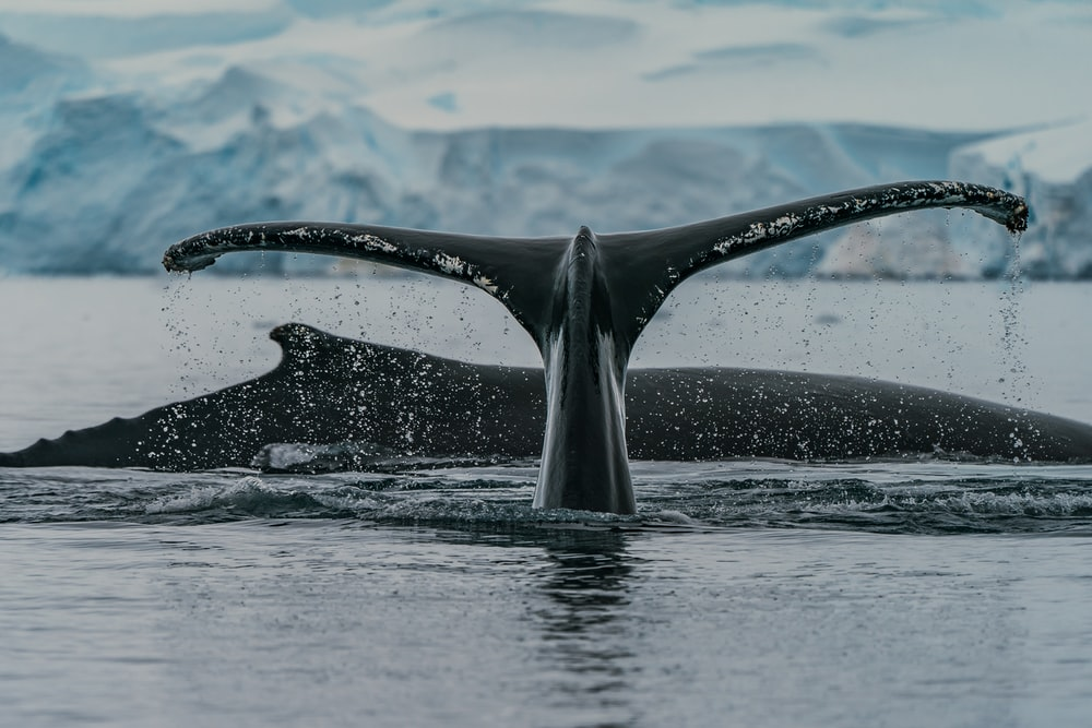 black whale in water during daytime