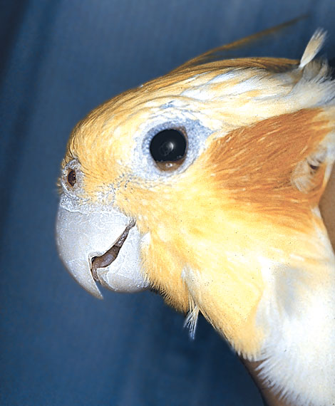 A cockatiel (Nymphicus hollandicus) with eyelid paresis from infraorbital sinus infection demonstrates a cranial nerve V lesion