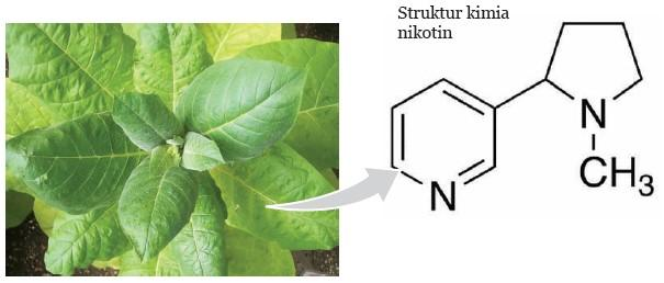 daun tembakau