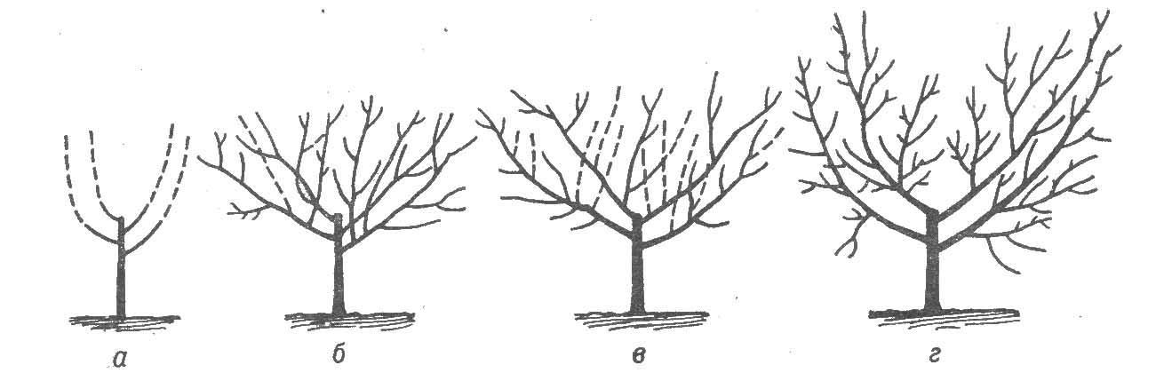 Обрезка вишни по годам. Пошаговая инструкция с фото