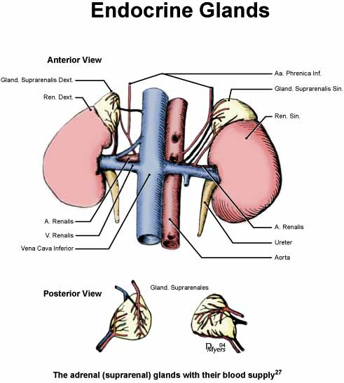 Blood supply of the rhesus monkey adrenal gland [27].