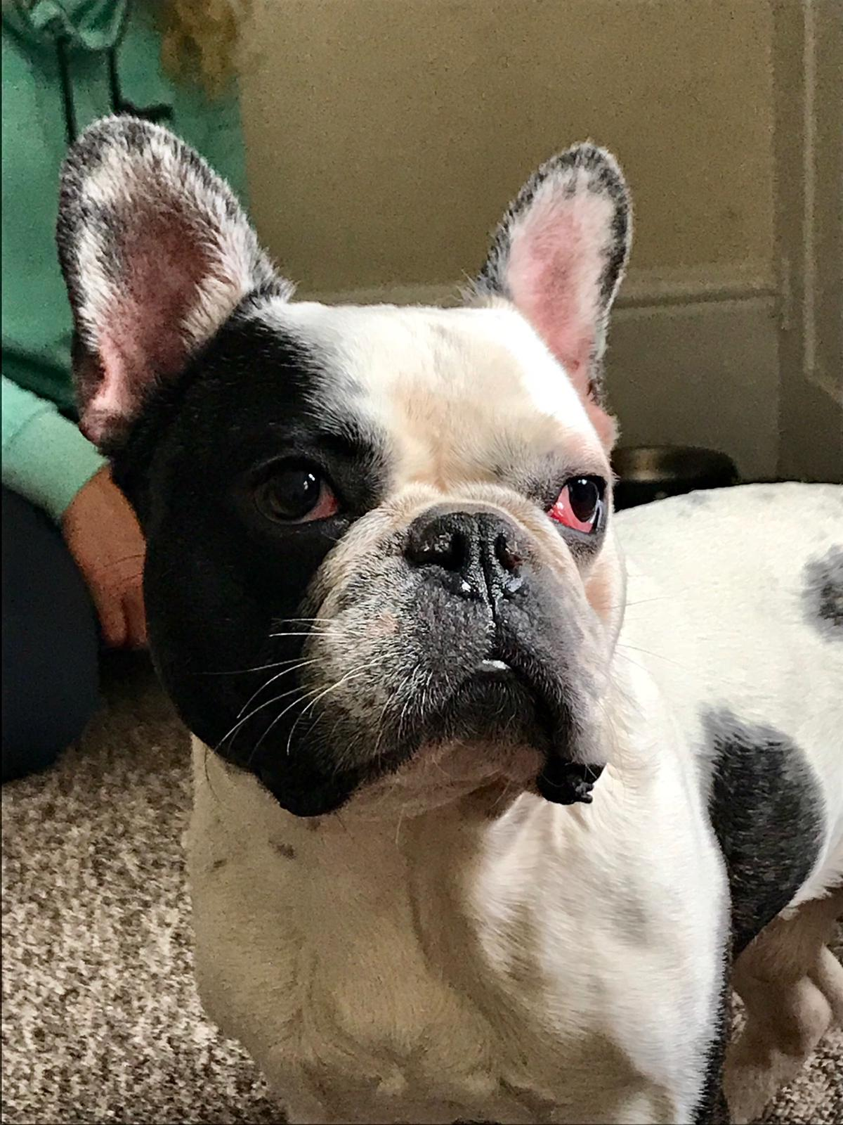 Watch How to Diagnose Breathing Problems in French Bulldogs video