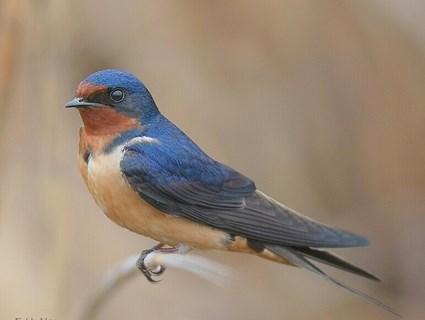 bird barn_swallow_1.jpg