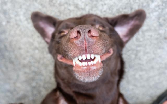 chó có thay răng không là điều nhiều người chưa biết