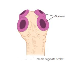 Taenia saginata scolex