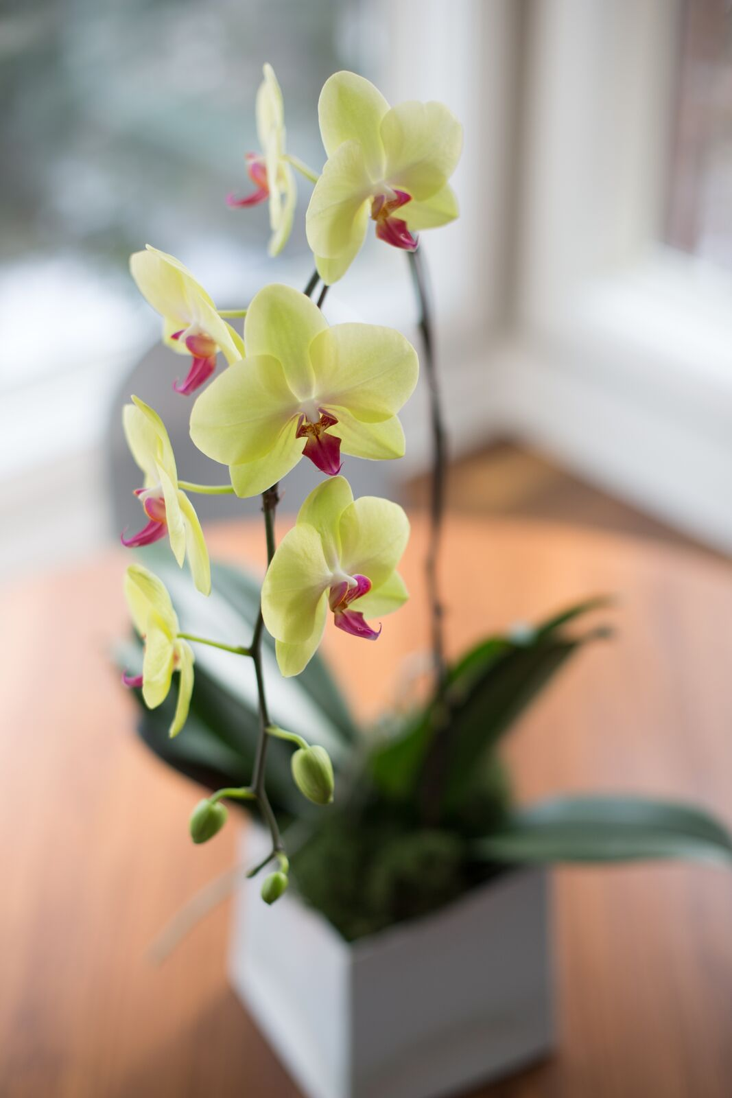 Yellow and fuchsia pink orchid in white square pot, greenery at home
