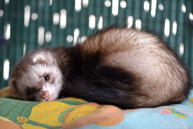 How to Get Rid Of Ferret Odor in Room