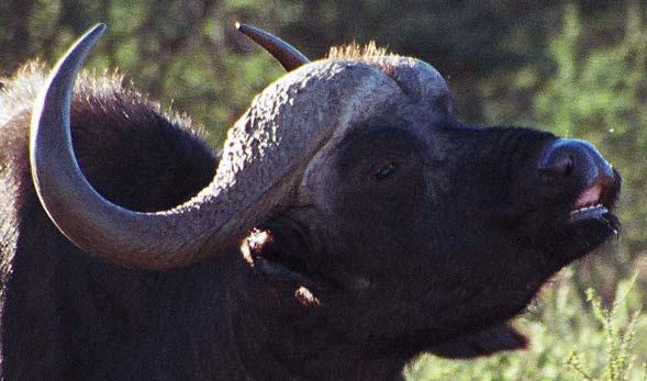 An African Savana buffalo bull showing flehmen (M. Cromhout).