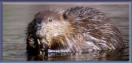 Sleek, slick, wet beaver.