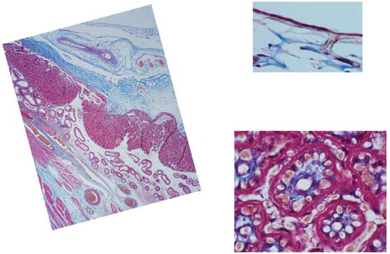 Photomicrograph of a higher magnification of an attached equine placenta (top, chorioallantois; bottom, attached chorioallantois).