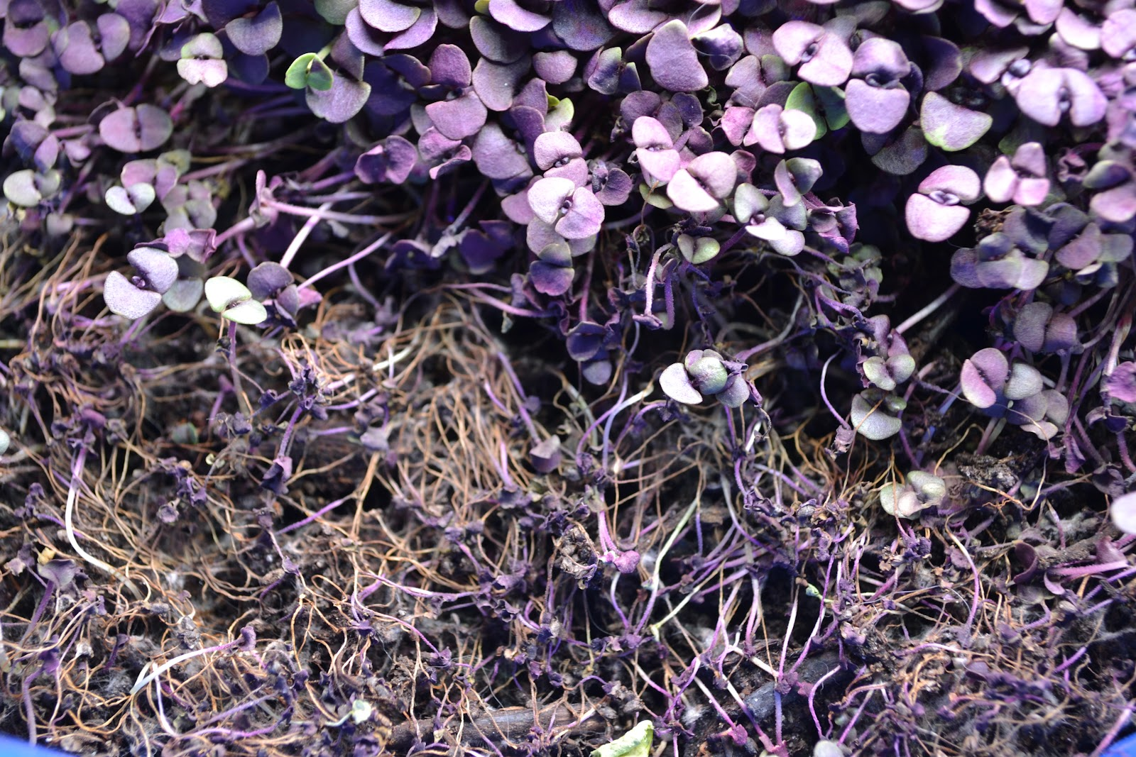 Purple Basil sprouts that have dried out are shown in this file photo.