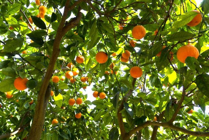 Récolte d'oranges : gagner de l'argent sans perdre de temps