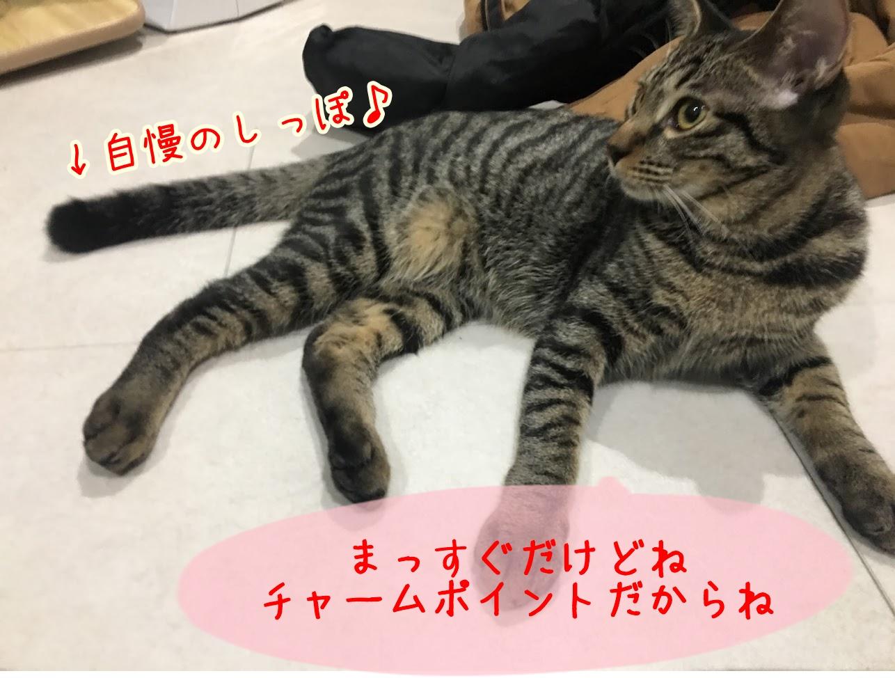 幸運を招く尾曲がり猫?長崎に多いと言われるかぎしっぽ猫について