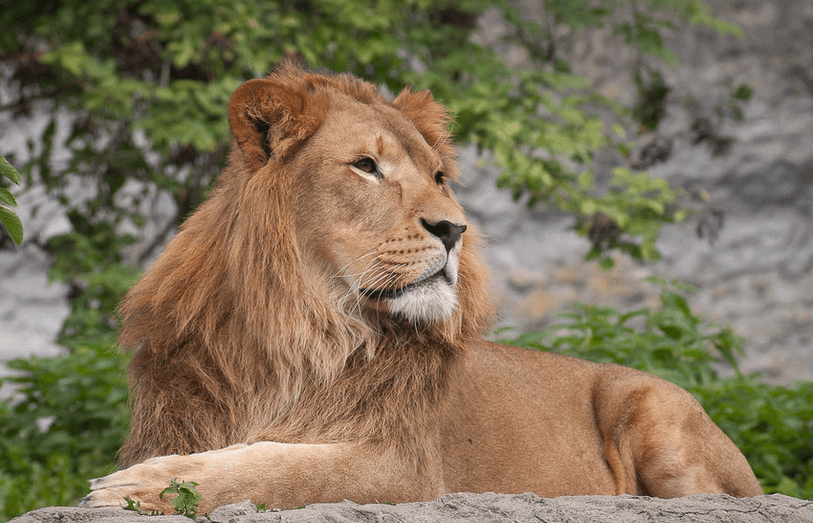 lone lion laying on a rock looking content