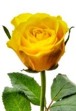 rose-w150.JPG