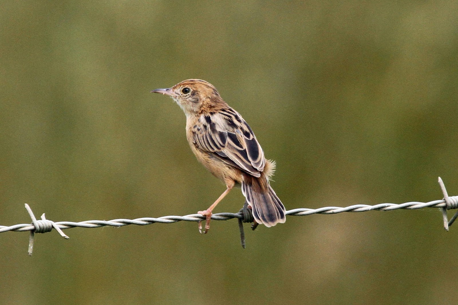 https://upload.wikimedia.org/wikipedia/commons/2/25/Cisticola_exilis_-Daintree%2C_Queensland%2C_Australia-8.jpg