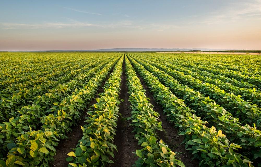 As chuvas dificultam a entrada das máquinas nas plantações da oleaginosa. (Fonte: Shutterstock/Fotokostic/Reprodução)