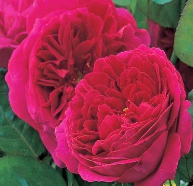 Englische Rose 'Othello' - Mein schöner Garten