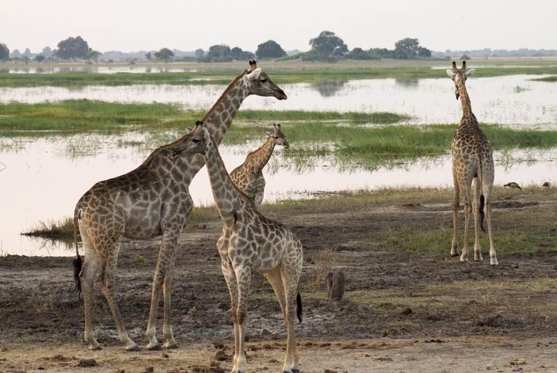 Chobe-4-giraffe.jpg