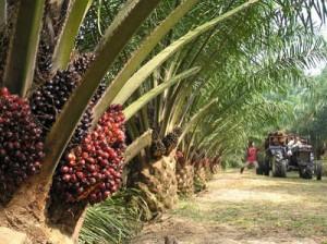 Palm oil - oil palm plantation